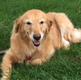 Golden Retrievers, Registered Therapy Dog Annie (6)