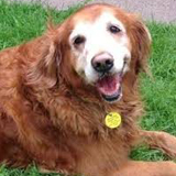 Golden Retrievers, Registered Therapy Dog Dixie (11)